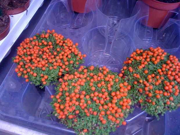 Depth of Planting Bulbs