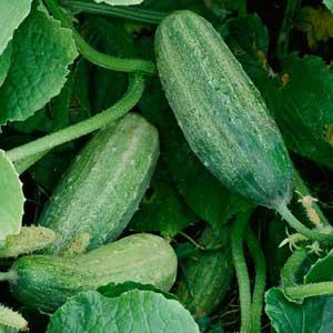Veg Cucumber Garden