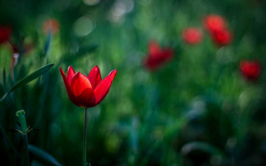 Red-tulip-flowers