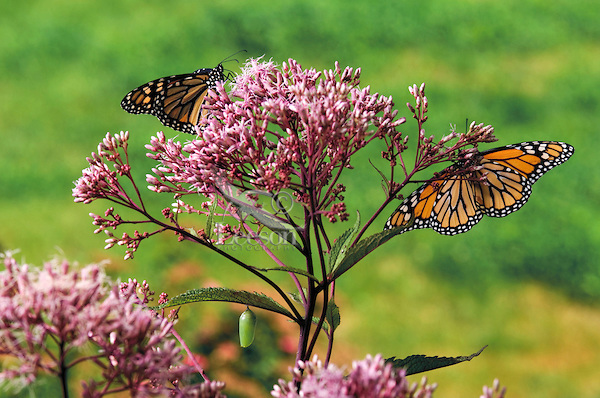 MONARCH BUTTERFLY life cycle.Adult butterflies with Chrysalis on Joe-Pye Weed leaf.North America. Danaus plexippus.