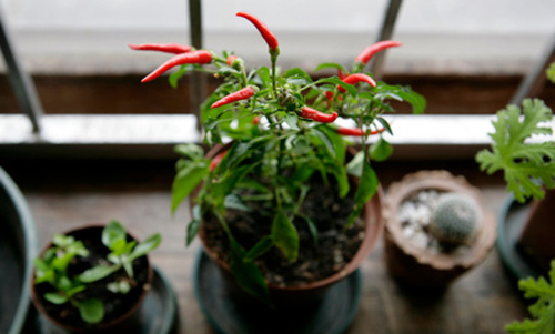 indoor vegetable garden red chilli