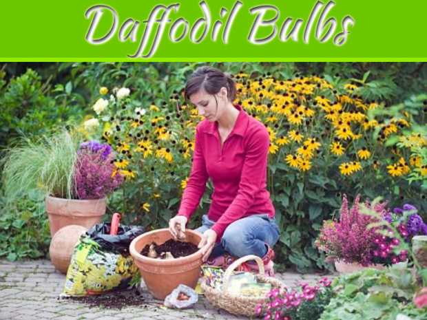 Spread Beauty in your Garden by Planting Daffodil Bulbs