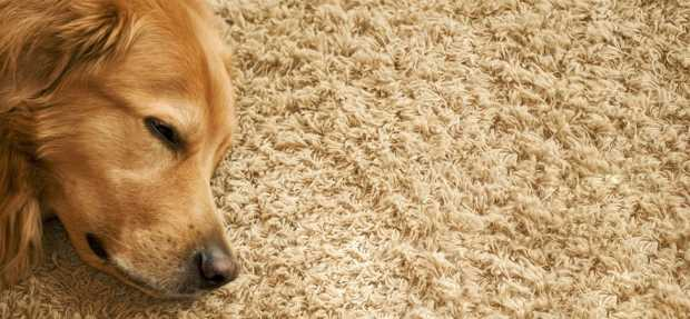 Dog Sleeping On Rug