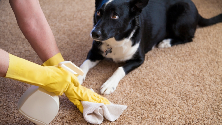 A Dog Owner S Guide To Cleaning Carpets My Decorative