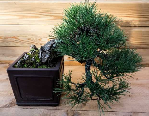 Japanese Black Pine For Your House