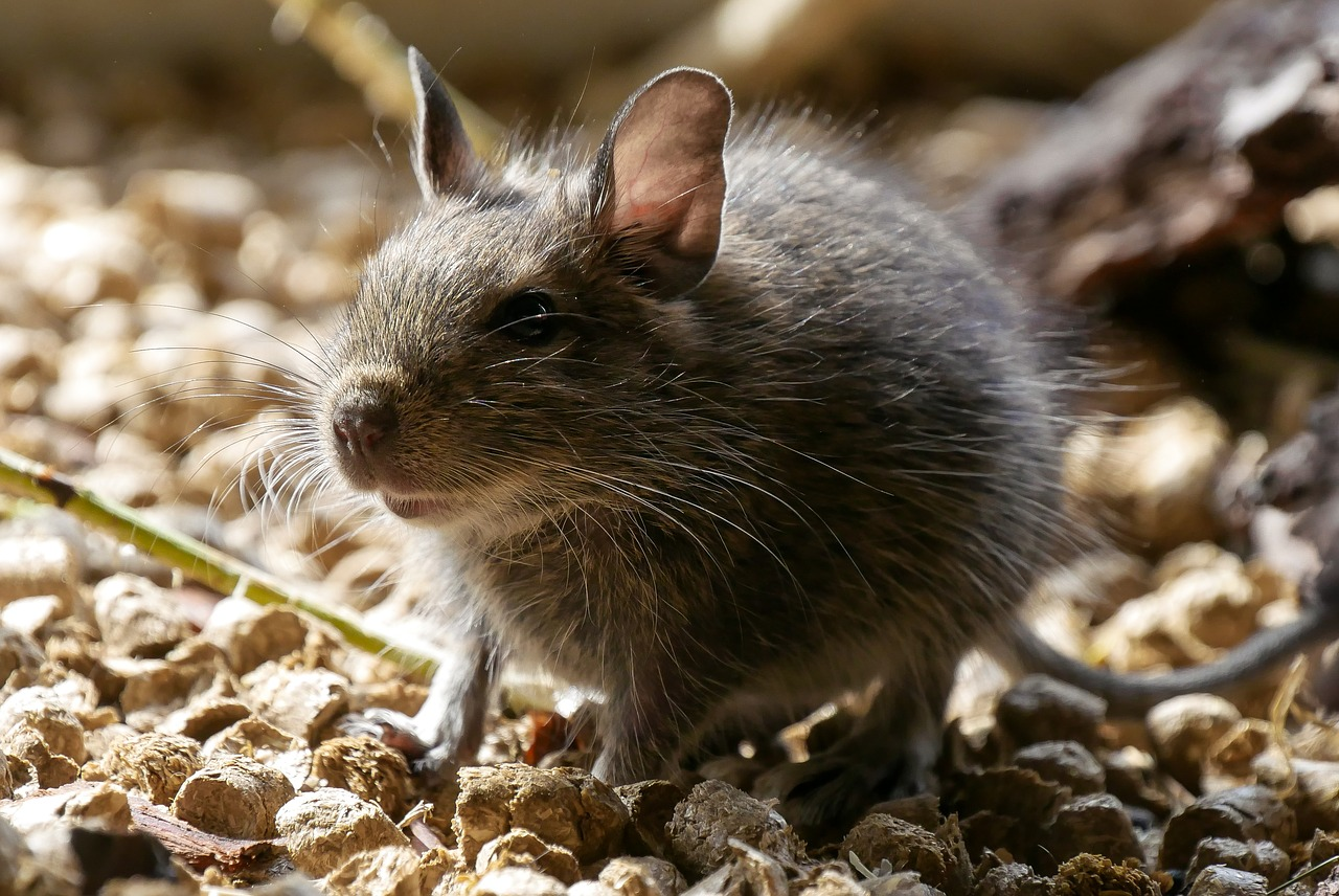 Rodents Contaminate Your Food