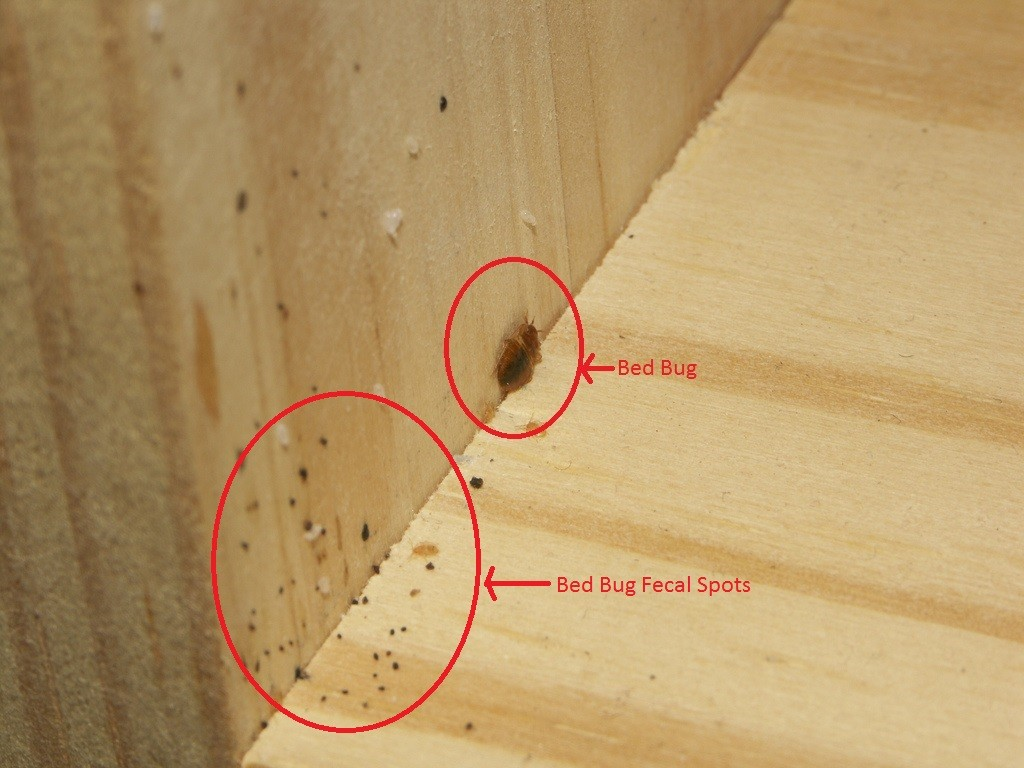 Incredible 7 Tips To Control Bed Bugs My Decorative Onthecornerstone Fun Painted Chair Ideas Images Onthecornerstoneorg