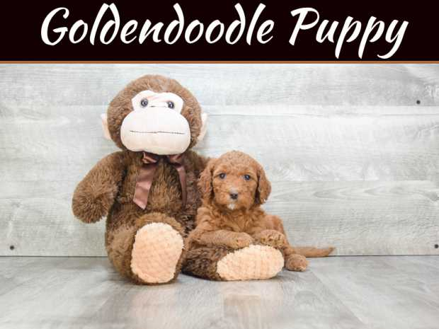 4 Reasons Why Your Home Should Have A Miniature Golden Doodle
