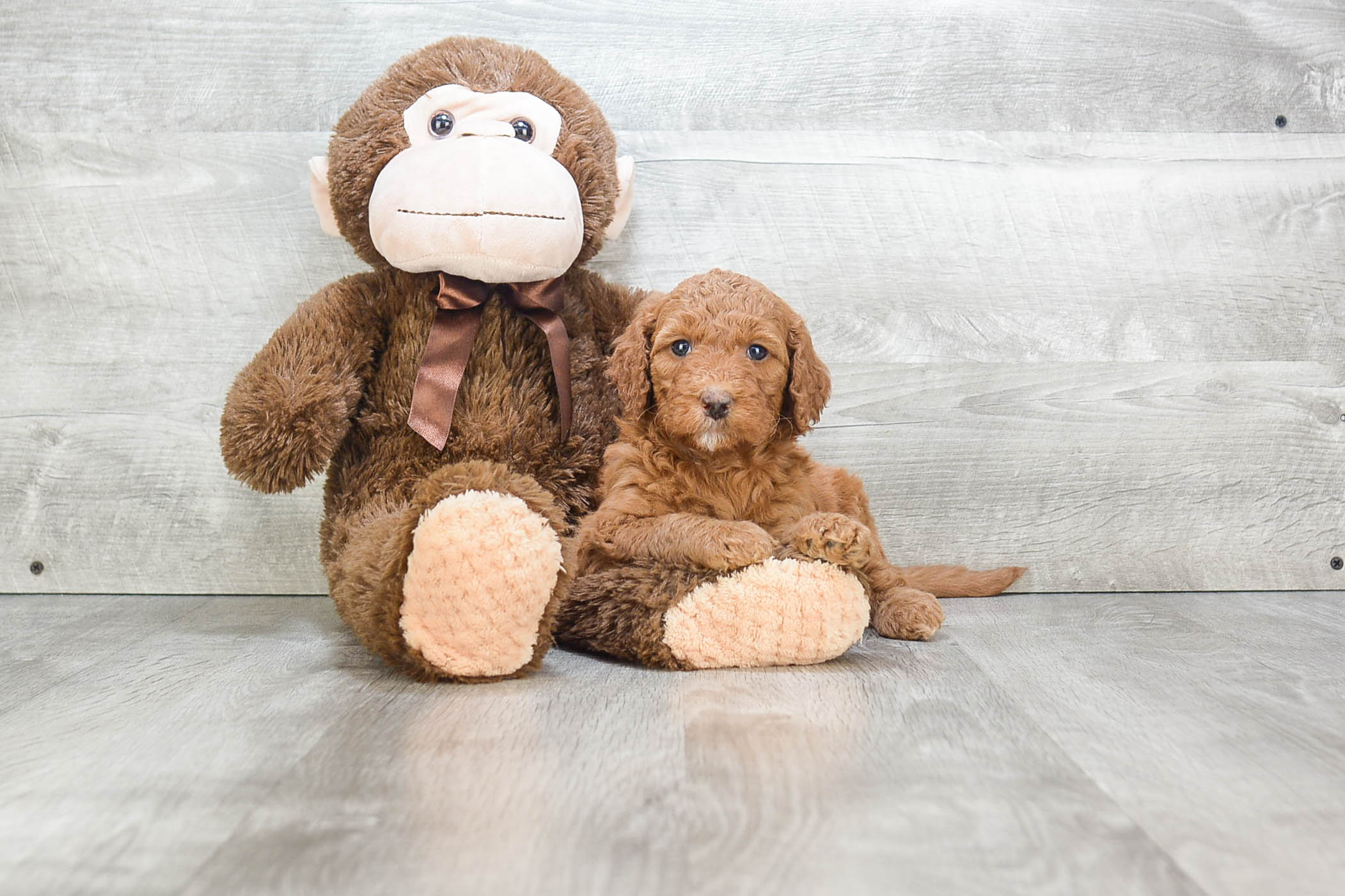 Mini Goldendoodle Puppy