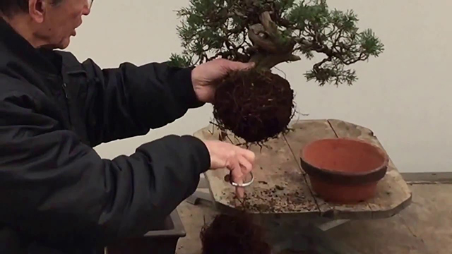 Repotting Bonsai