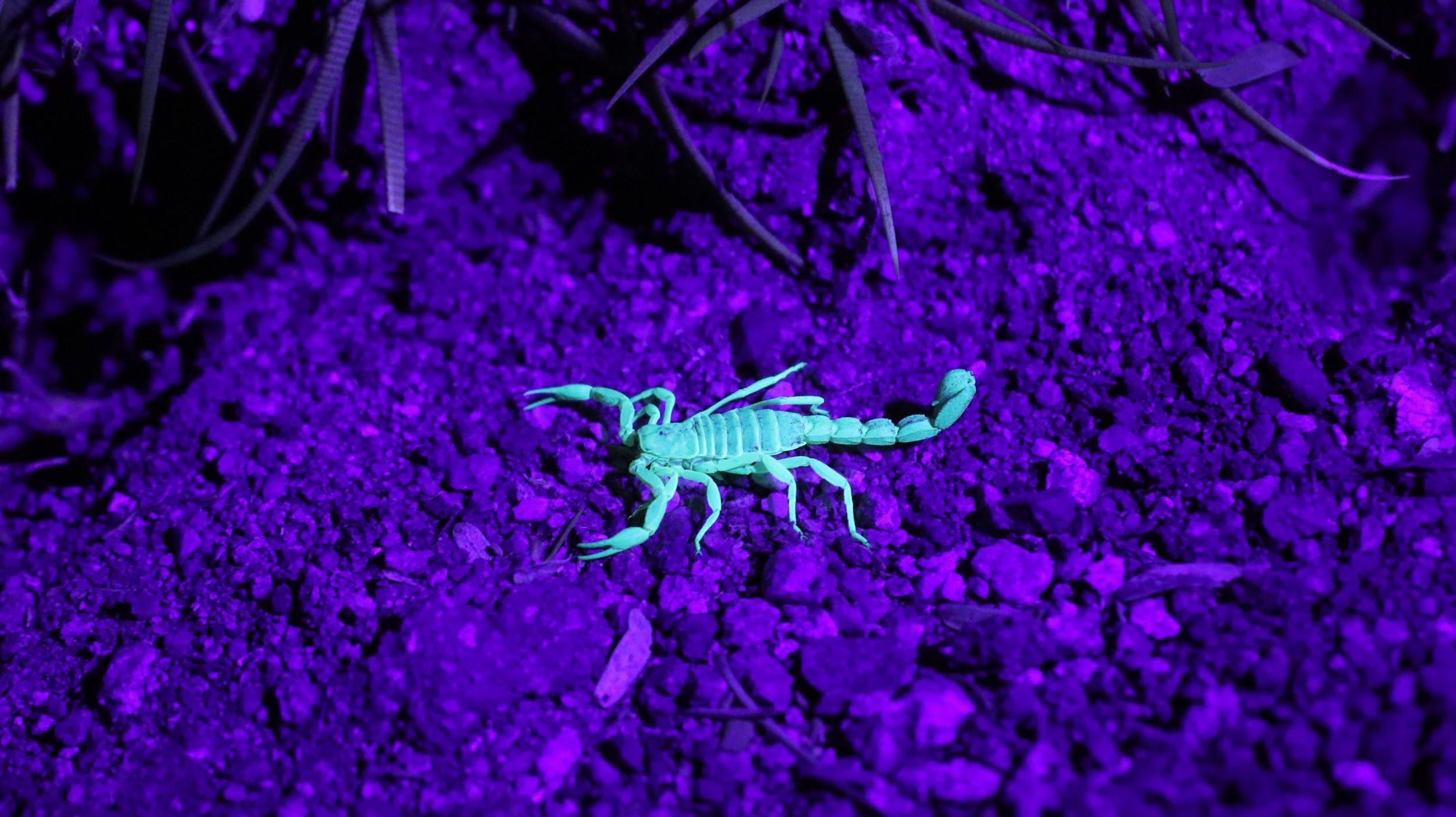 Scorpion Nesting Habits