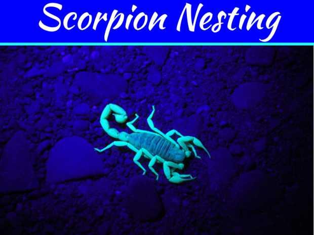 Scorpion Nesting Habits - Avoid Providing Shelters for Scorpions