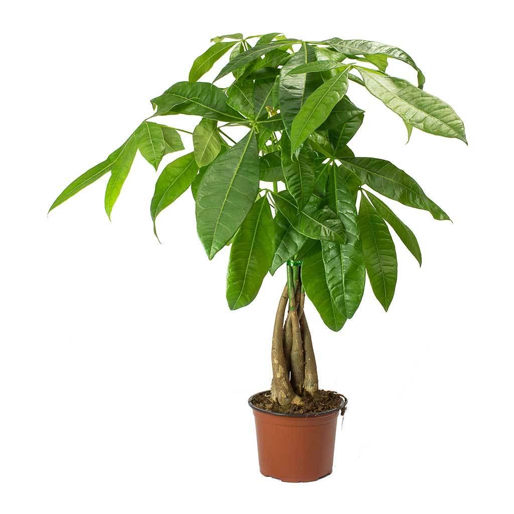 Pachira Tree