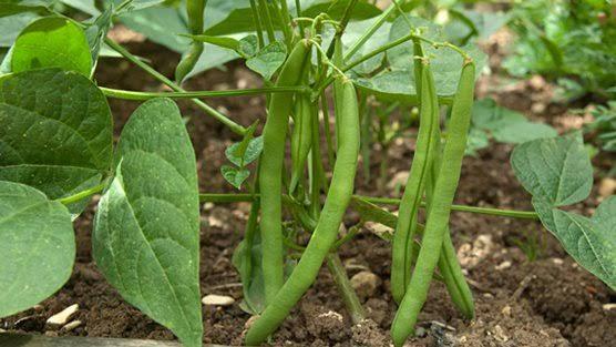 Grow Beans In Your Garden