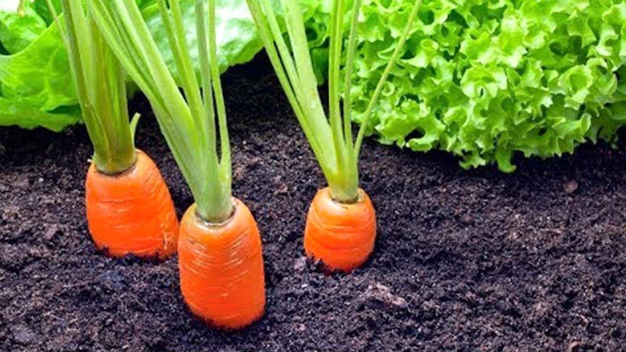 Grow Carrots In Your Garden