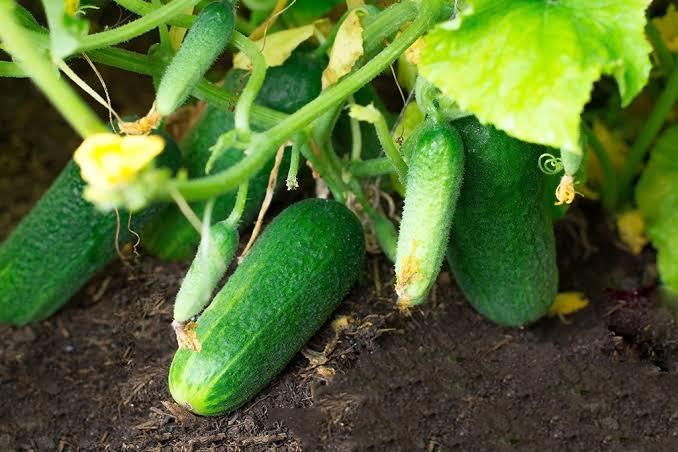 Grow Cucumbers In Your Garden