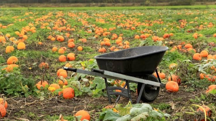 Grow Pumpkins In Your Garden
