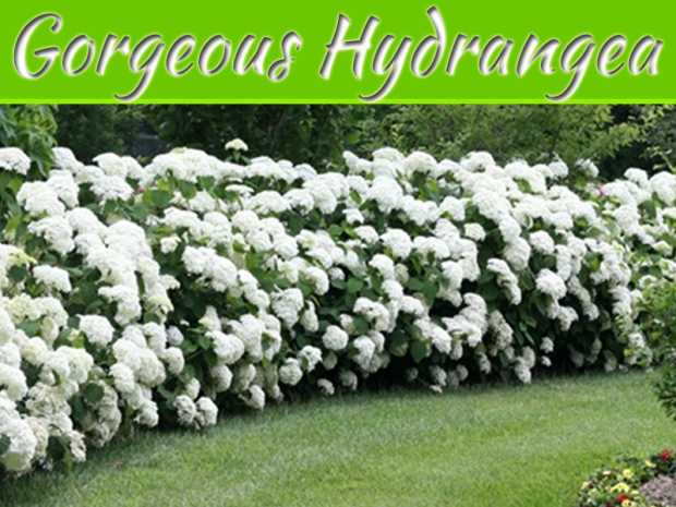 The Gorgeous Hydrangea: Full Introduction, Care and Tips