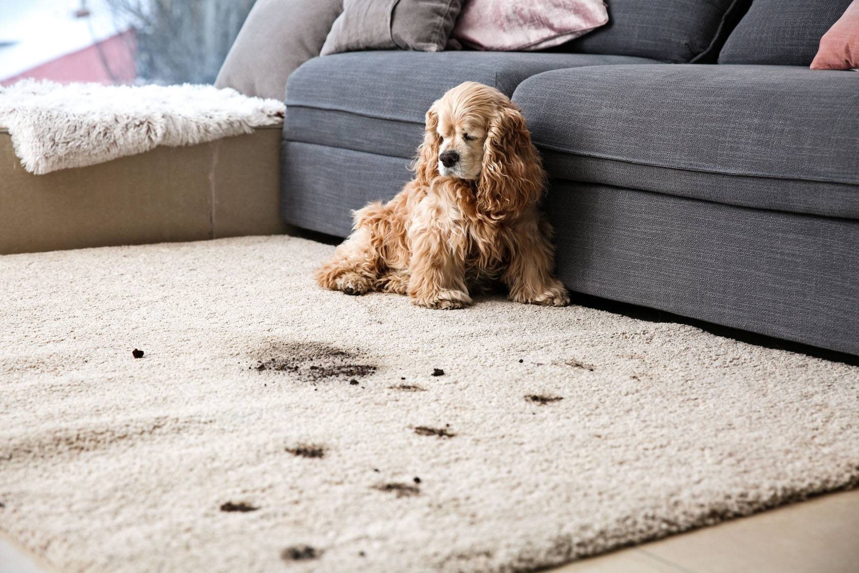 Pet Stains On Carpet