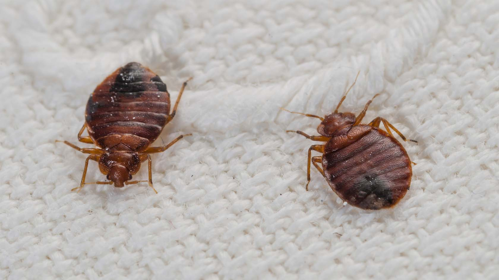 Bedbugs At Your Home