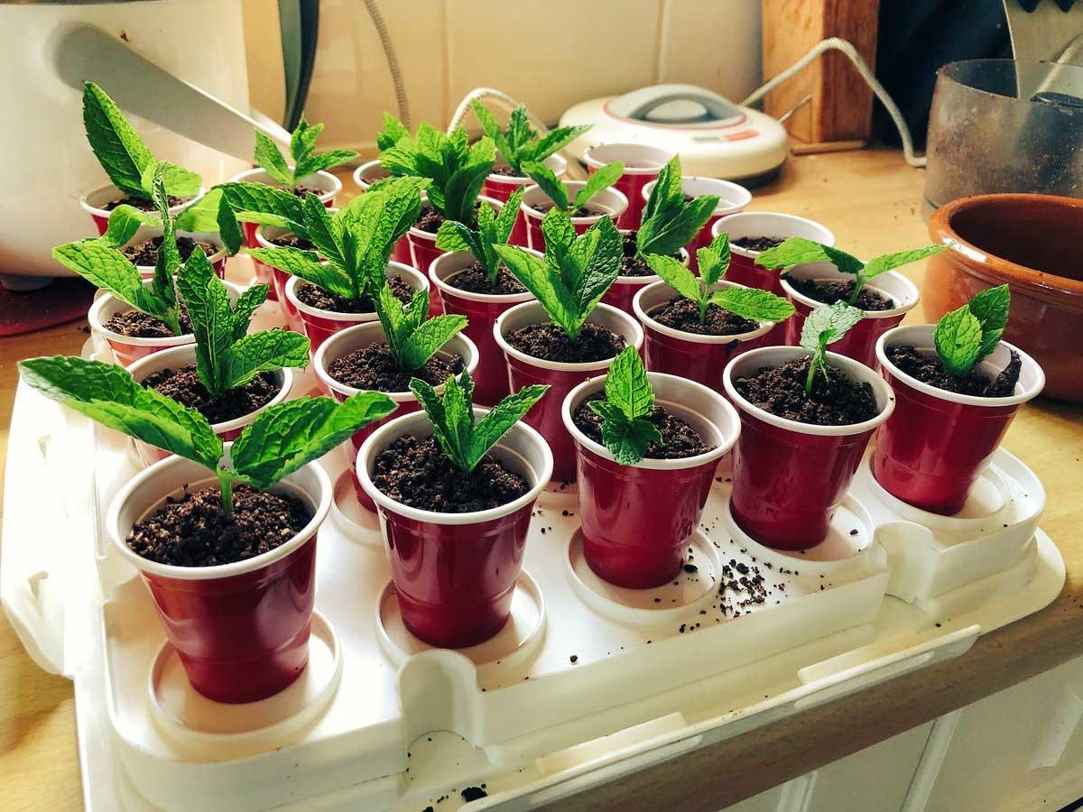 Mint Herb Plants