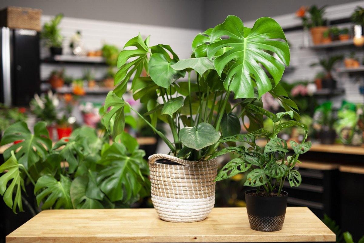 Monstera Plants